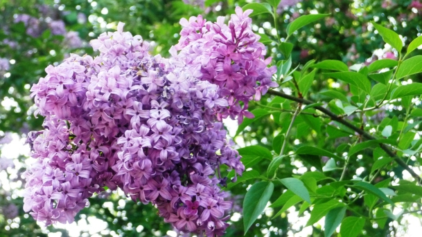 Lilacs closeup image